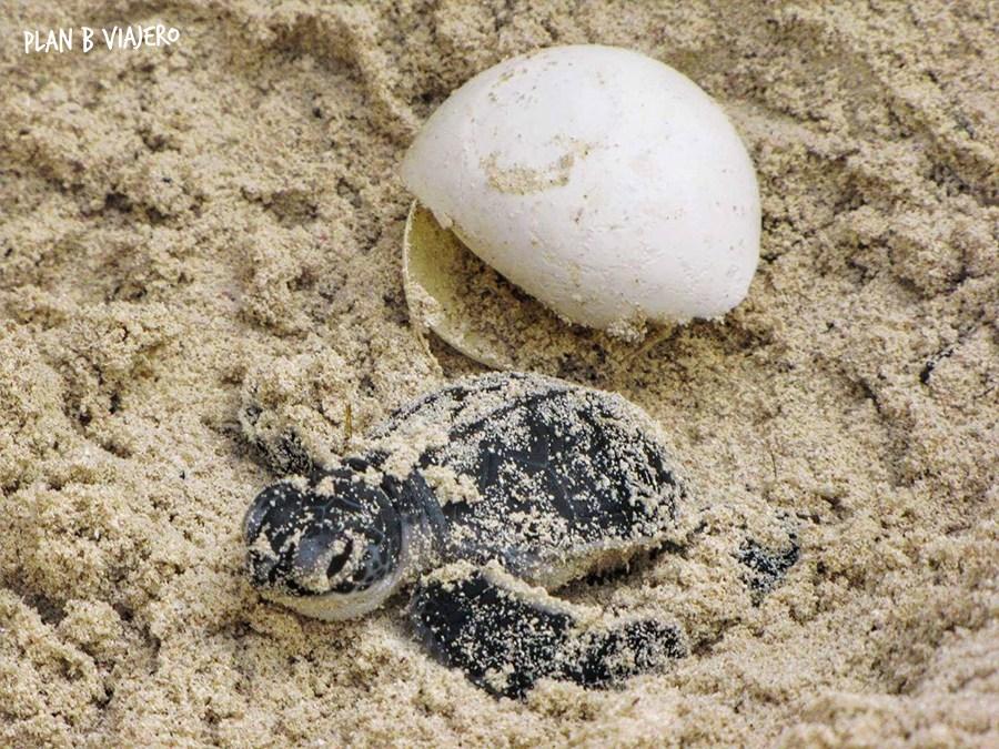 voluntariado-con-tortugas-marinas-en-la-riviera-maya-tortugas-marinas-recien-nacida